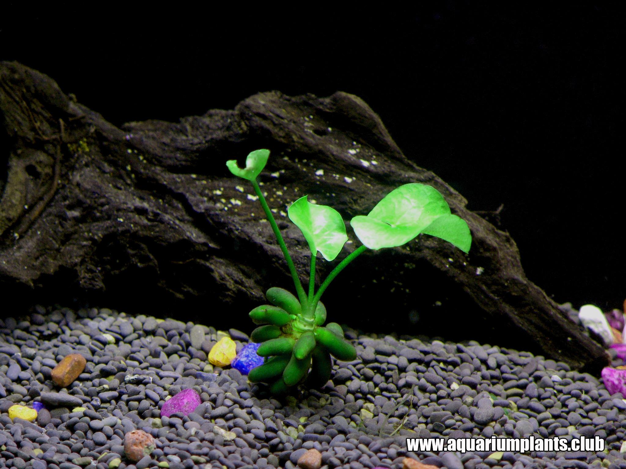 Aquarium plat staurogyne repens foreground carpet aquarium for Aquarium plat