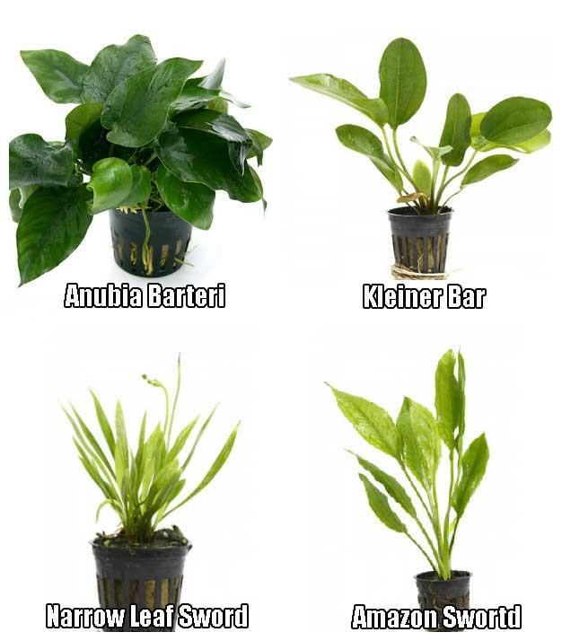 4 Potted Live Aquarium Plants Bundle – Anubia, Amazon Sword, Kleiner Bar,  Narrow Leaf