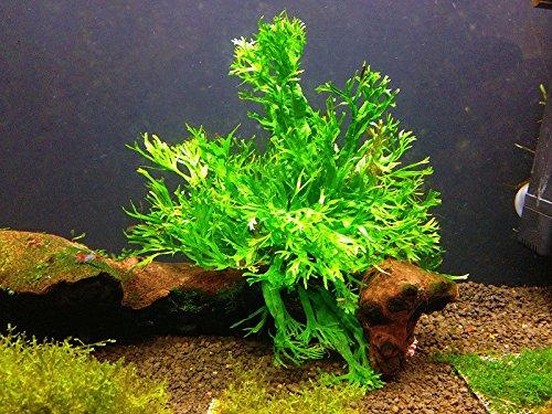 Java Fern Windelow Easy Tropical Live Aquarium Plant