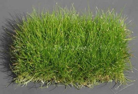 Dwarf Hairgrass On 3 X 5 Mat Foreground Carpet Aquarium