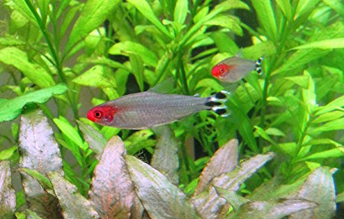 6 rummy nose tetra live tropical aquarium community fish for Tropical community fish
