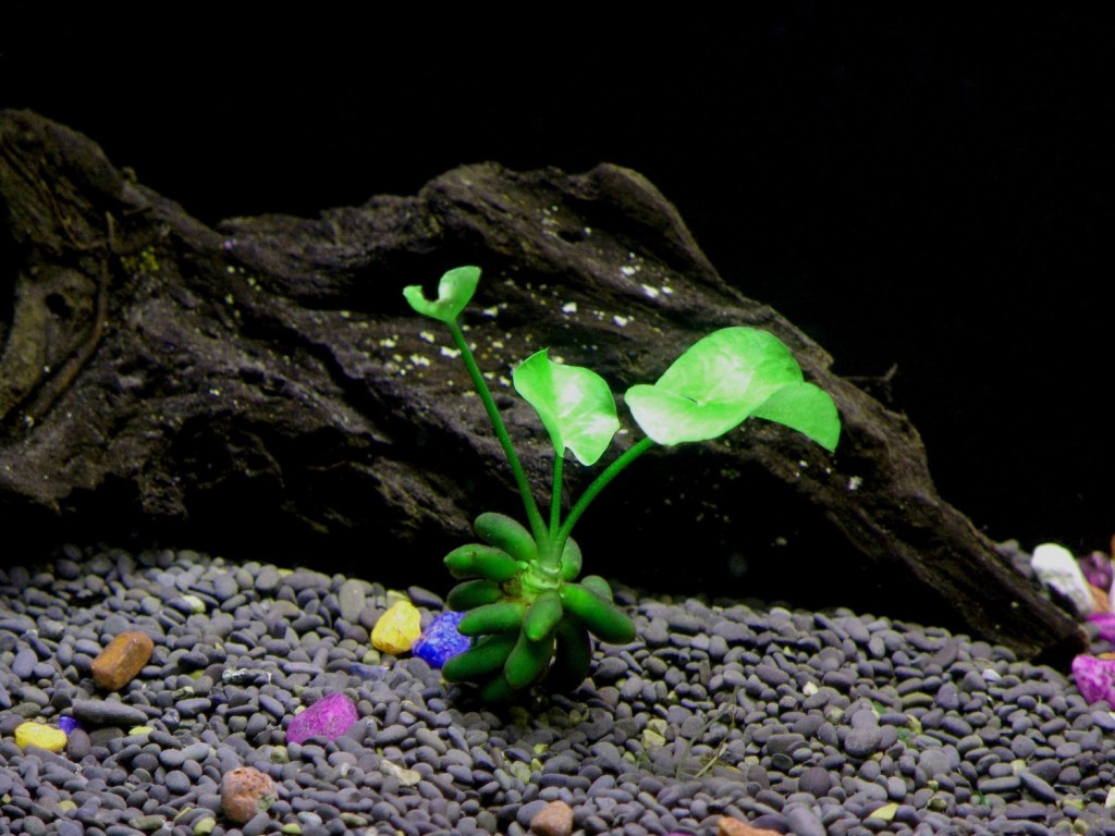 Banana Plant Beginner Tropical Live Aquarium Plant