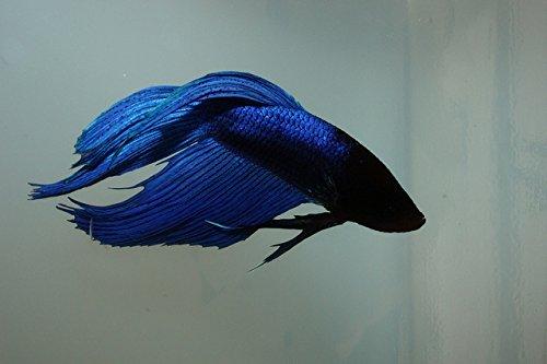 Betta splendens siamese fighting fish blue male live for Male veiltail betta fish