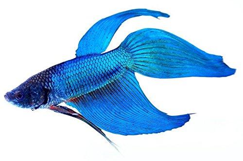 Betta splendens siamese fighting fish blue male live for Blue fish aquarium