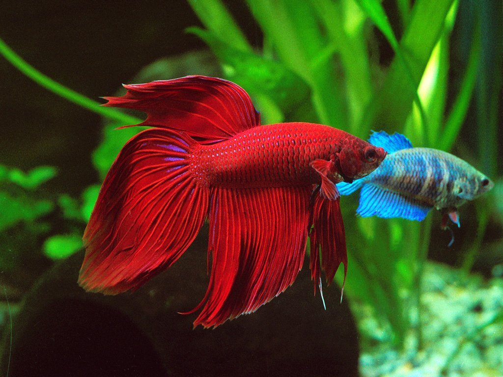 Betta Splendens Siamese Fighting Fish – Red Male | Live Tropical ...