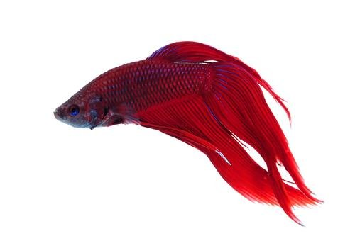Betta splendens siamese fighting fish red male live for Betta fish personality
