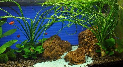 Crinum Calamistratum Live Aquarium Plants Easy Aquatic Plant