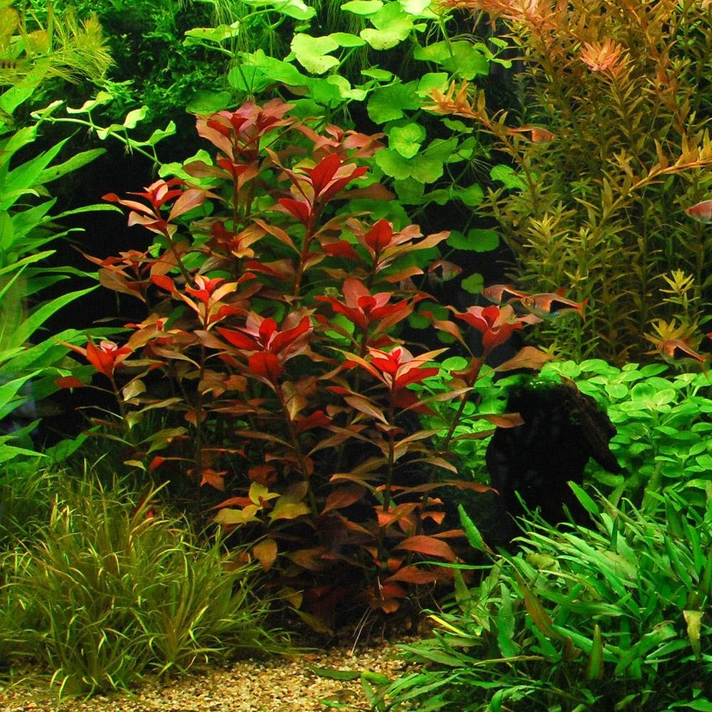 Easy live aquarium plants package 7 kinds anacharis for Easy pond plants