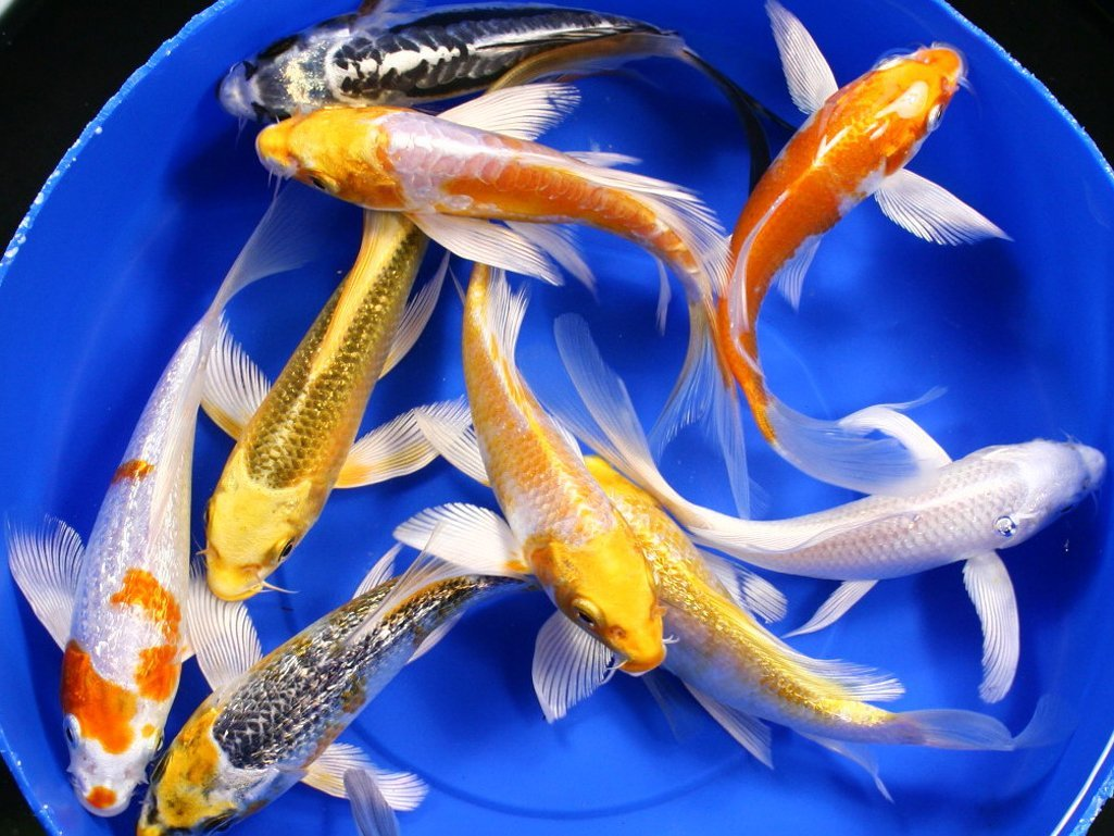 Live koi fish 8 lot assorted butterfly aaa grade quality for Koi 5 muhavare