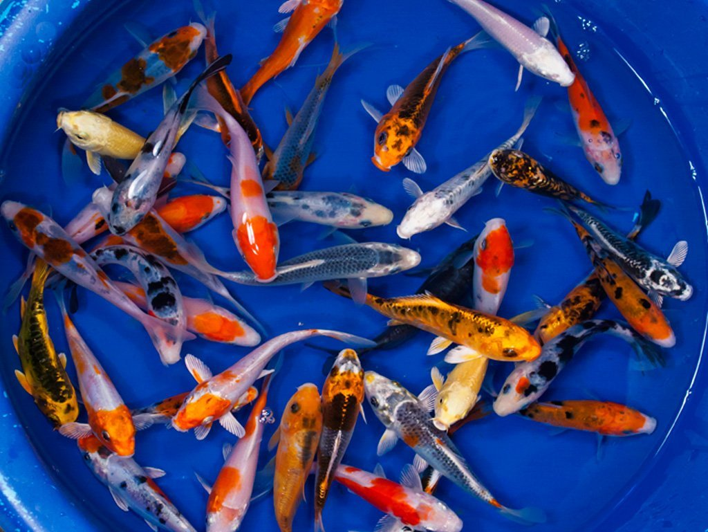Live Koi Fish 8 Lot Assorted Standard A Grade Quality 4