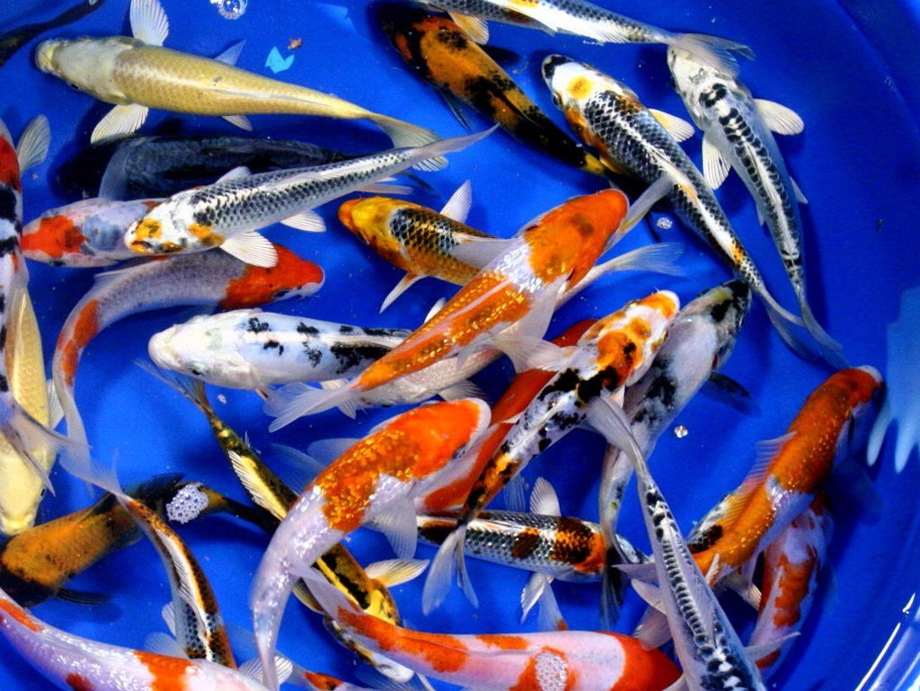 Live koi fish 8 lot assorted standard aaa grade quality for Koi fish species
