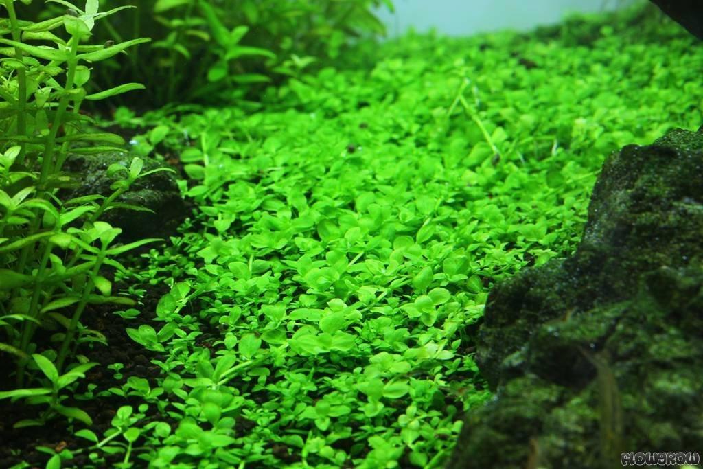 Potted Monte Carlo (Micranthemum) – Easy Carpet Aquarium Plant