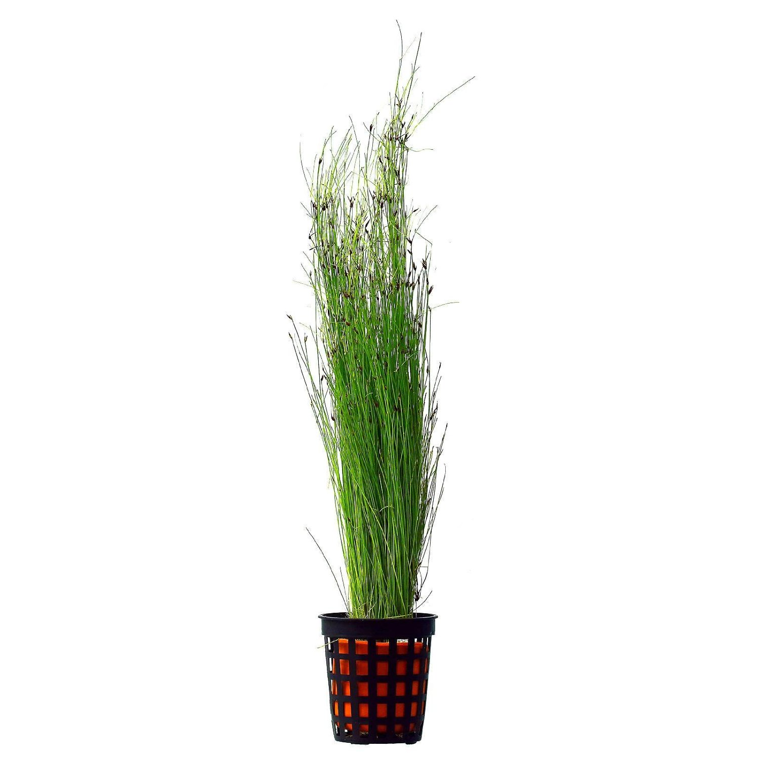 potted tall hairgrass easy aquatic live plant aquarium plants - Tall Potted Plants