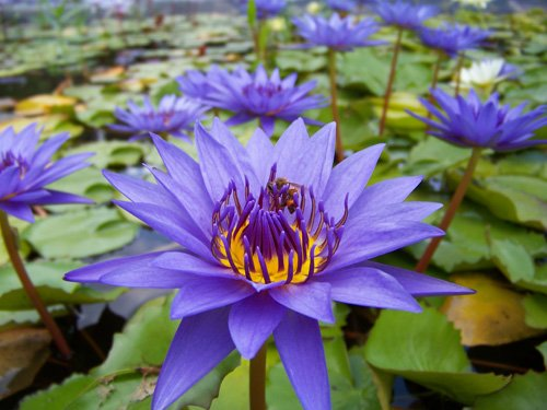 Purple tropical water lily water garden live pond plant for Deep pond plants