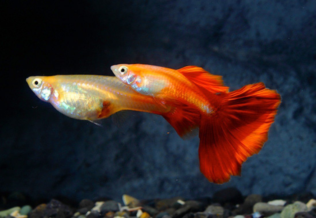 Red Fire Guppy Pair Live Freshwater Tropical Aquarium Fish
