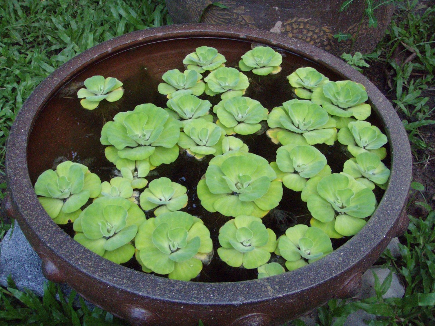 Water lettuce floating live pond plants aquarium plants for Using pond water for plants