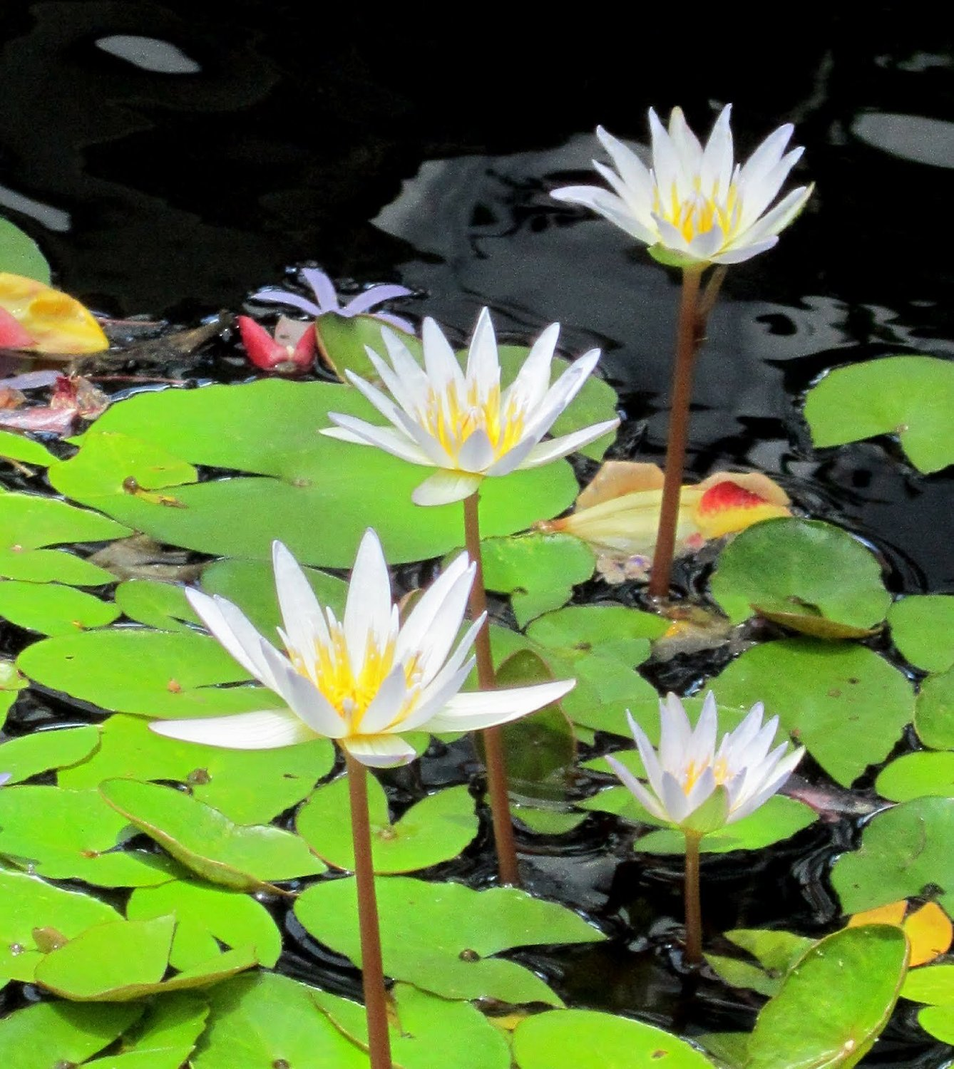 White tropical water lily water garden live pond plant for Aquatic garden plants